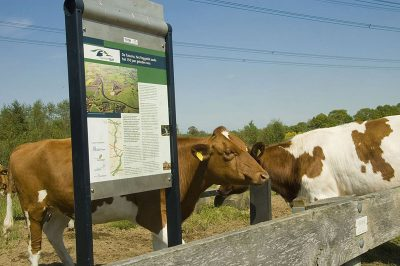 koeien zoeken de weg