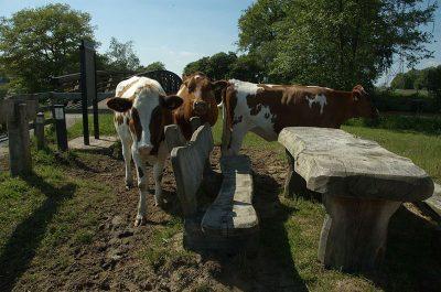 koeien bij de reggebrug